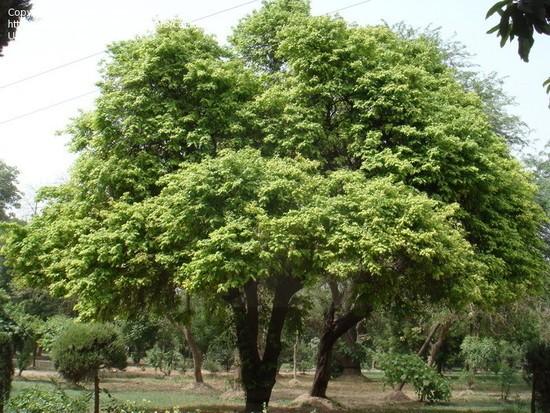 Paraiso Das 193 Rvores Caramboleira Carambola Tudo Em