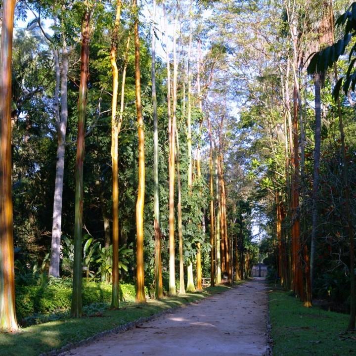 Pau-mulato