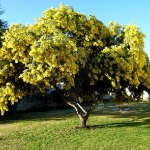 Acacia Mimosa - Acacia podalyriifolia