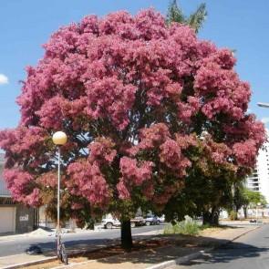 Cássia Rosa – Cassia grandis