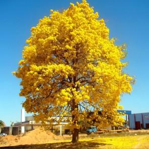 Ipê amarelo