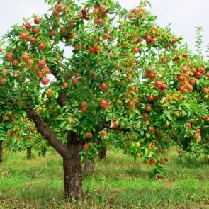 Macieira - Maçã