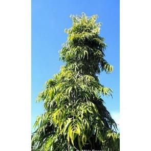 Árvore Mastro, Ashopalo ou Choupala