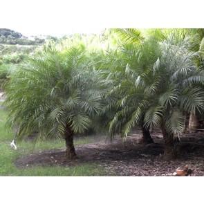 Palmeira Fênix – Phoenix roebelenii