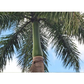 Palmeira-imperial – Roystonea oleracea
