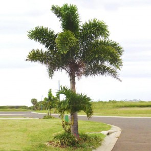 Palmeira-rabo-de-raposa – Wodyetia bifurcata