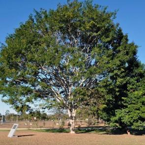Pau-ferro  Caesalpinia leiostachya