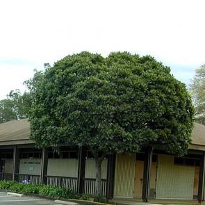 Árvore-samambaia – Filicium decipiens