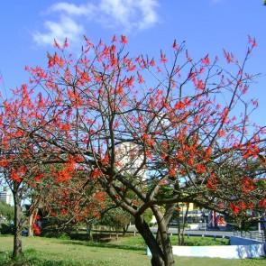 Suinã - Erythrina velutina - Pau Cebola