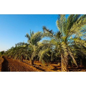 Palmeira Tamareira das Canárias - Phoenix Canariensis